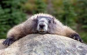 Aburrir como a una marmota.jpg